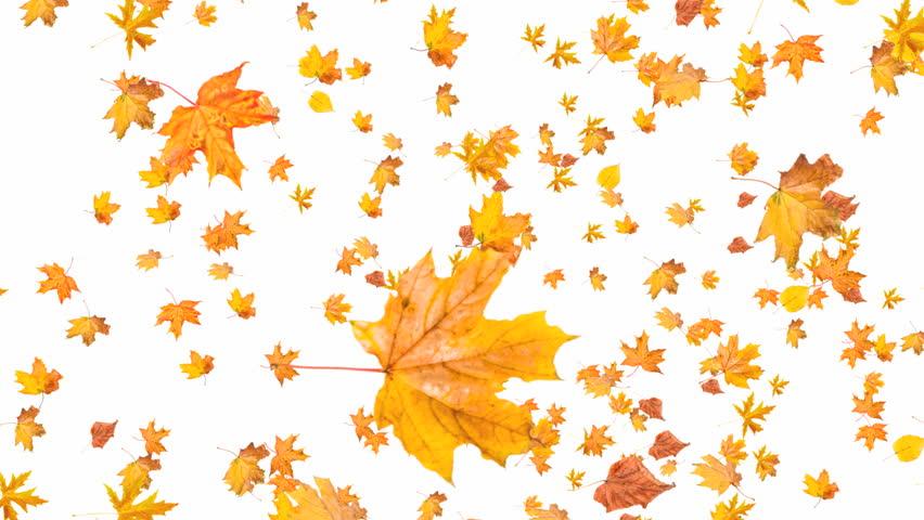 Falling autumn maple leaves
