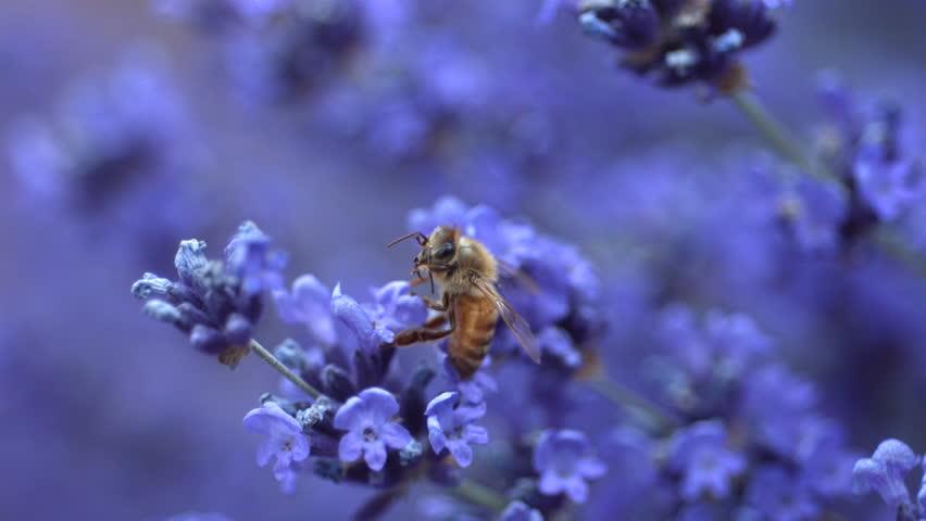 Honey been on lavender, slow motion
