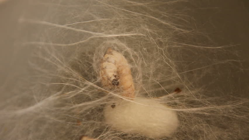 Timelapsed Silk Worm Enclosing Itself in a Cocoon