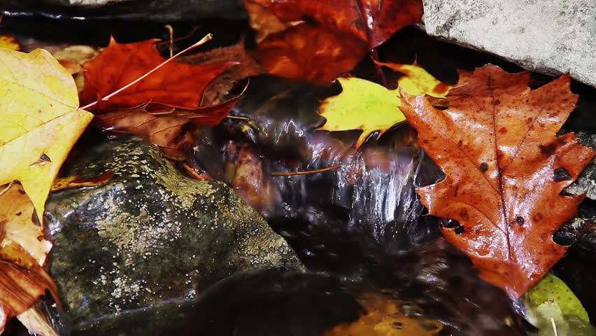 Seamless loop features sparkling water streaming over rocks with wet colorful autumn leaves.