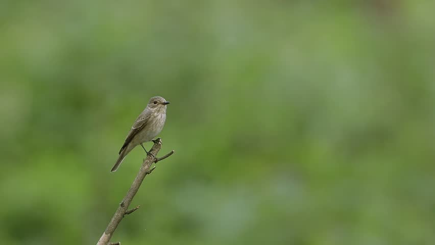 Little bird (Spotted Flycatcher) looking round while perched on the branch then flies away. Shutter speed - 1/50s.