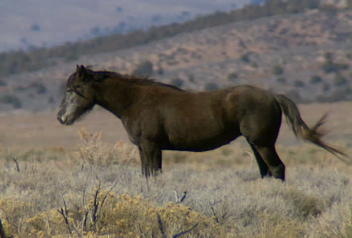 Zoom out from a group of wild horses in the mountains near Reno, Nevada. | Shutterstock HD Video #473008