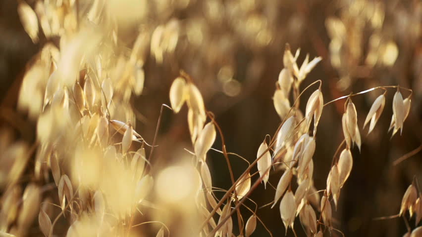 Golden oat ready to be harvested