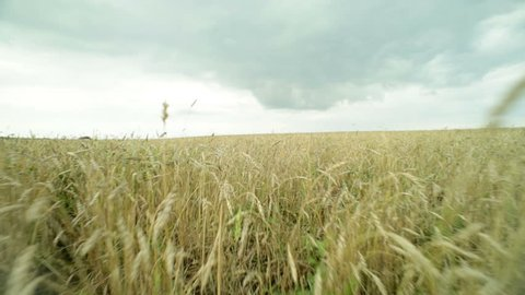 Camera moving across the wheat field spreading under the moody sky