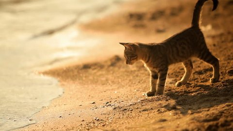 A cat stands at the water's edge while on the beach