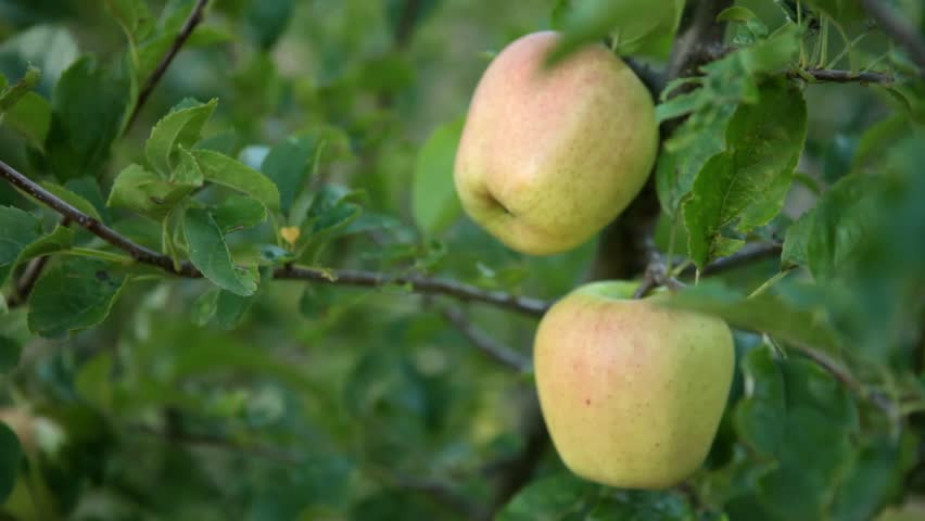 Close up of green apples on a tree.