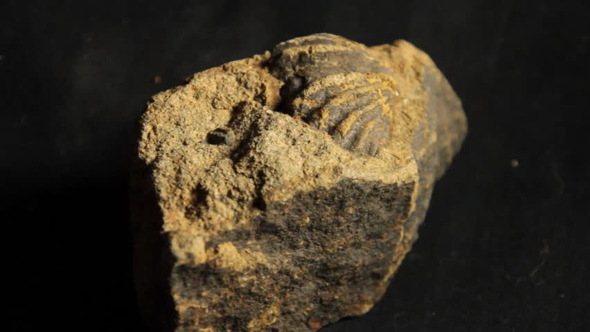 Header of brachiopod