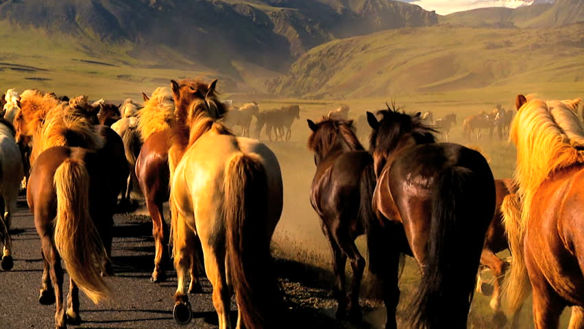 Herd of wild horses moving alongside a tarmac country road 60 FPS