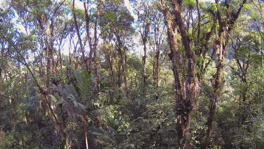Rising through the canopy of montane rainforest over the crown of a palm tree. On & Descending From The Canopy Of Montane Rainforest Into The ...