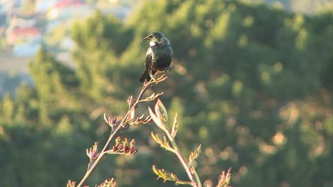 The Tui bird is native to New Zealand. Seen here sitting on a flax plant