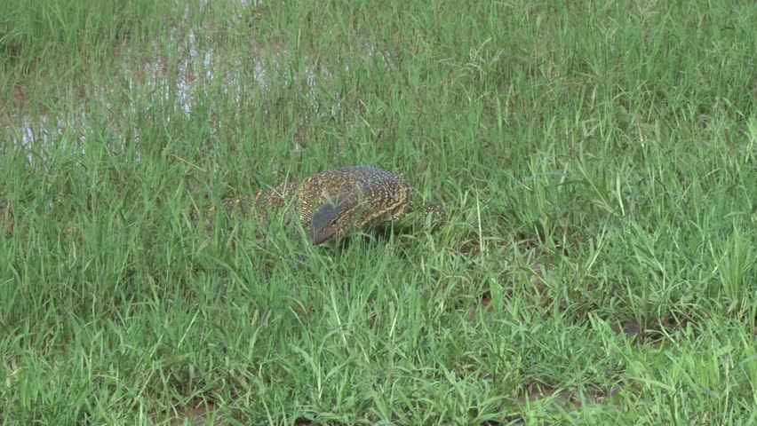 monitor lizard walking through the grass facing the camera.