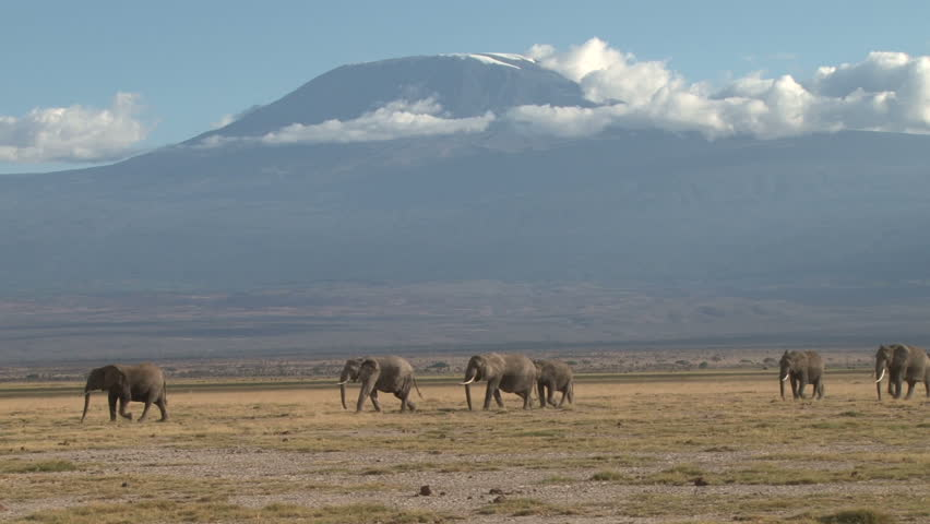 elephants walking through a park with kilimanjaro in the back ground.