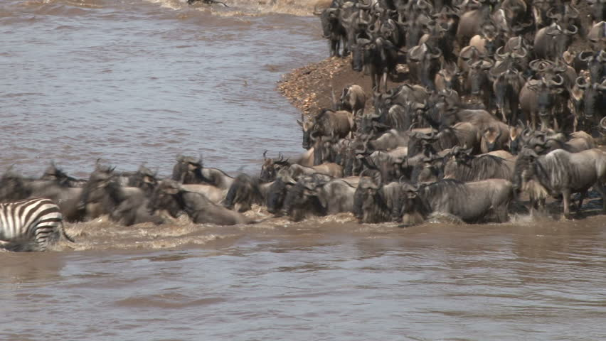 A large group of wildebeests crossing mara river.