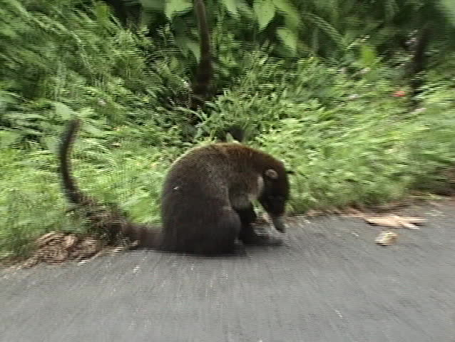 Scratching coati. Costa Rica. White-nosed Coati Nasua narica also known as hog-nosed coons, snookum bears, and Brazilian aardvarks, are members of the raccoon family.