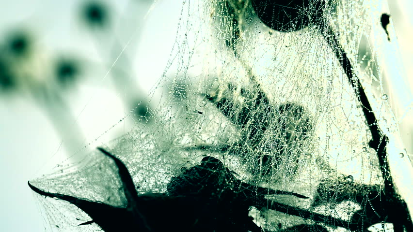 Roses trapped into a spider's web. #4980941
