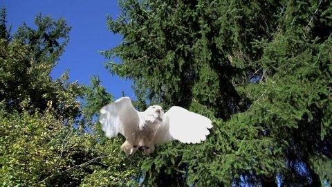 white owl flying. bird. slow motion .animals wildlife.