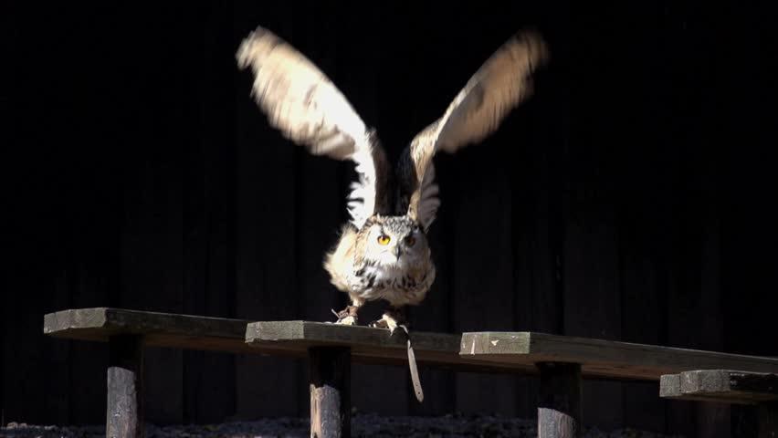 owl launching start. bird. slow motion .animals wildlife.