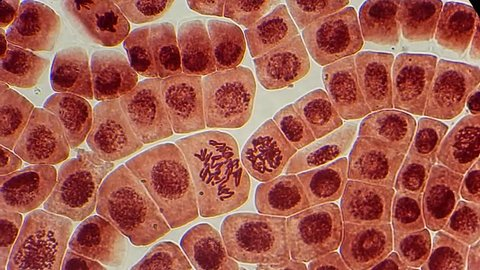 Full HD. Many living dividing cells under microscope, magnification 400X