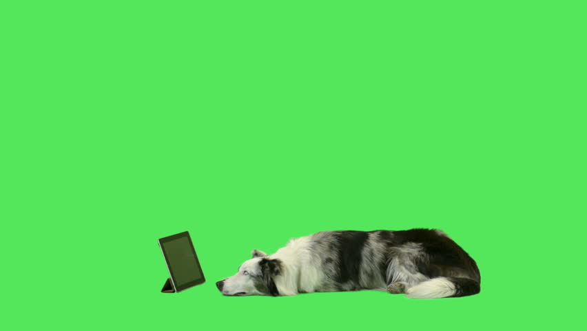 Pet cute dog watching digital tablet in green screen studio