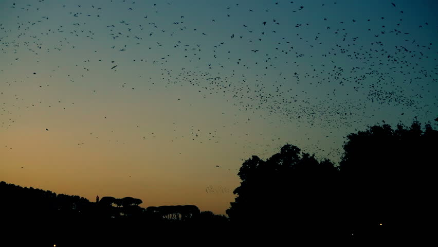 Starling migration meeting at dusk. Rome.