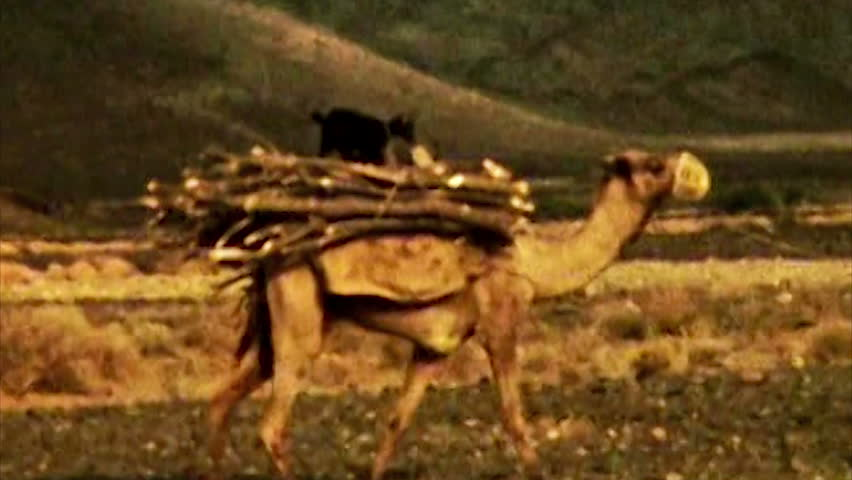 ADEN, CIRCA 1960: Aden Protectorate Bedouin camel caravan vintage HD. British Aden Protectorate in southern Arabia.  One of a kind private owned vintage and historic 8mm film. Republic of Yemen.