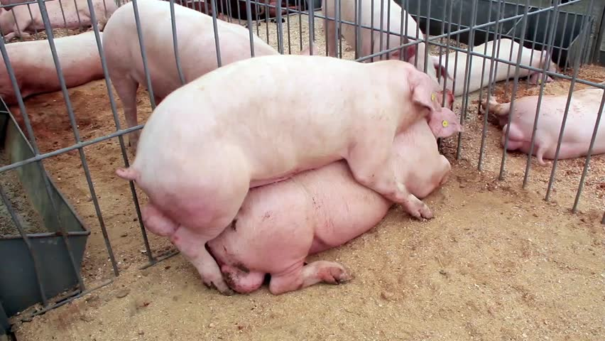 Секс со свиньёй онлайн бесплатно