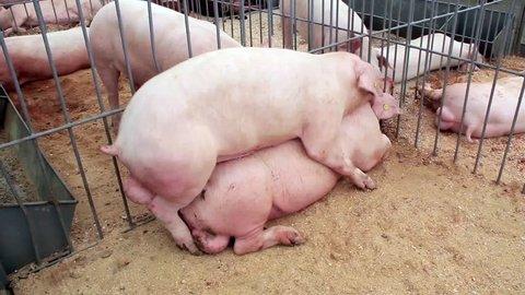 Pigs have sex on livestock farm