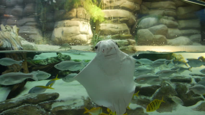 An albino Stingray appears to be singing and dancing in an aquarium. Pure