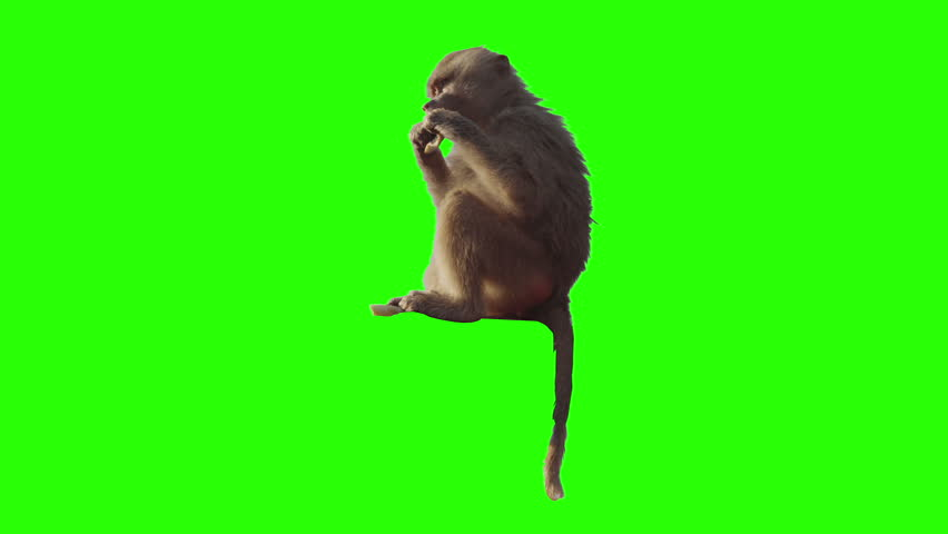 Monkey eating fruit in front of green screen. Shot with red camera. Ready to be keyed. | Shutterstock HD Video #5064428