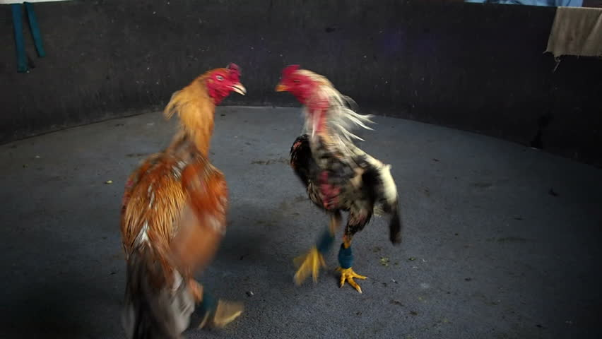 Roosters circling and attacking each other at cockfight in Thailand.