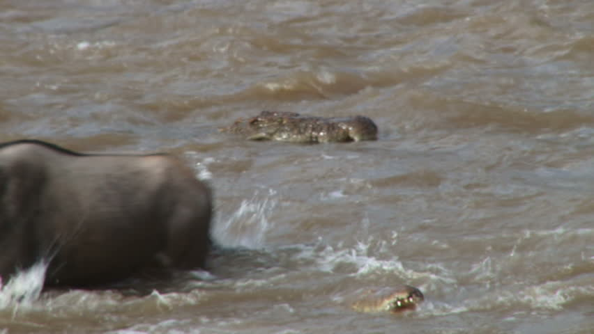 A baby wildebeest is taken by a crocodile while crossing mara river