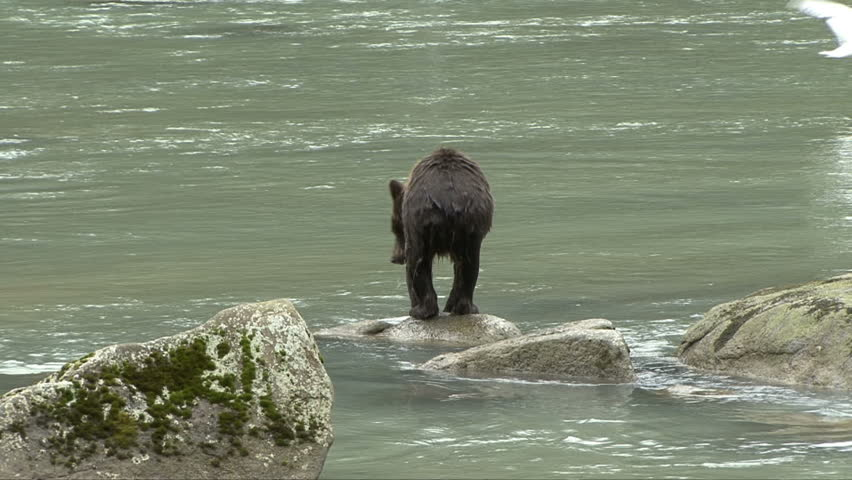 A brown bear slips and falls on the rocks in the Chilkoot River
