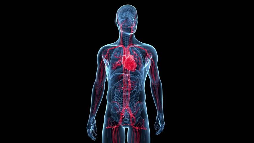 animation showing the vascular system
