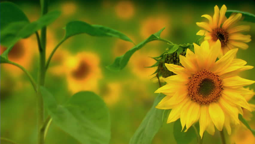 Stock Video Footage Close Up Shot Of Sunflower In Breeze. Rack ...