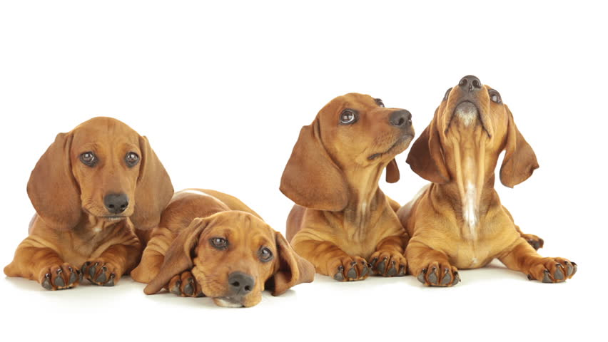 Young dachshunds are lying on a white background. Puppies are looking up, yawning, licking each other | Shutterstock HD Video #5233589