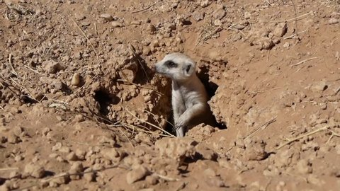 suricate looks watchful and leaves burrow