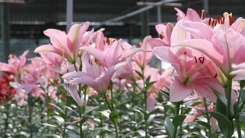 Beautiful Lily Flower In Garden Stock Footage Video 100 Royalty Free 5242388 Shutterstock