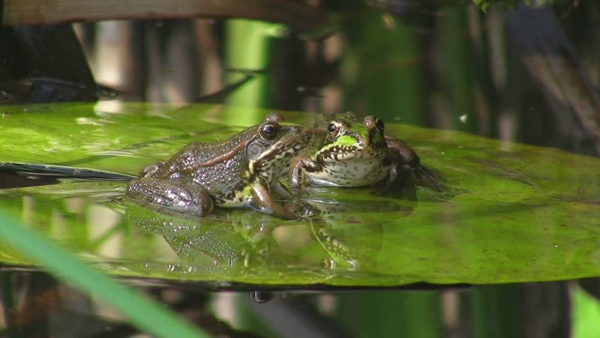 Frogs In Pond On Water...