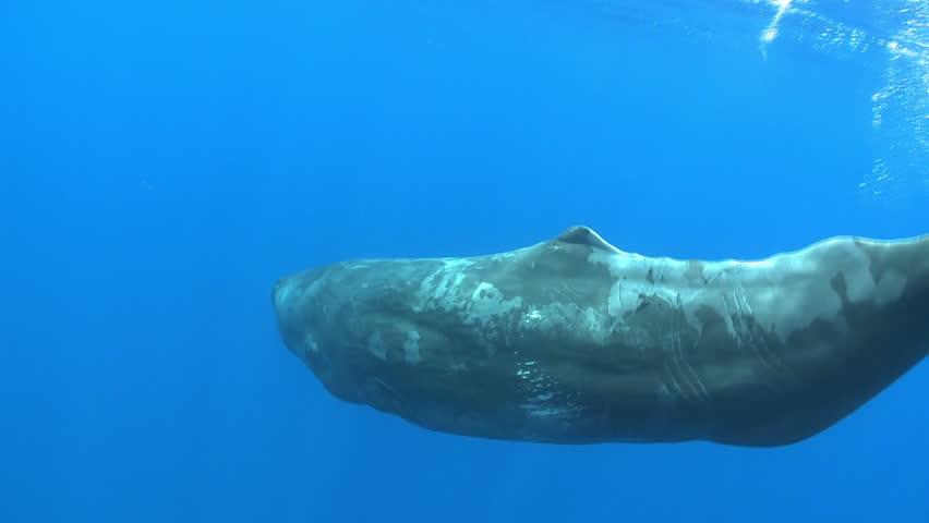 Sperm whale swimming - underwater shoot Physeter macrocephalus Azores Island, Pico, Atlantic ocean