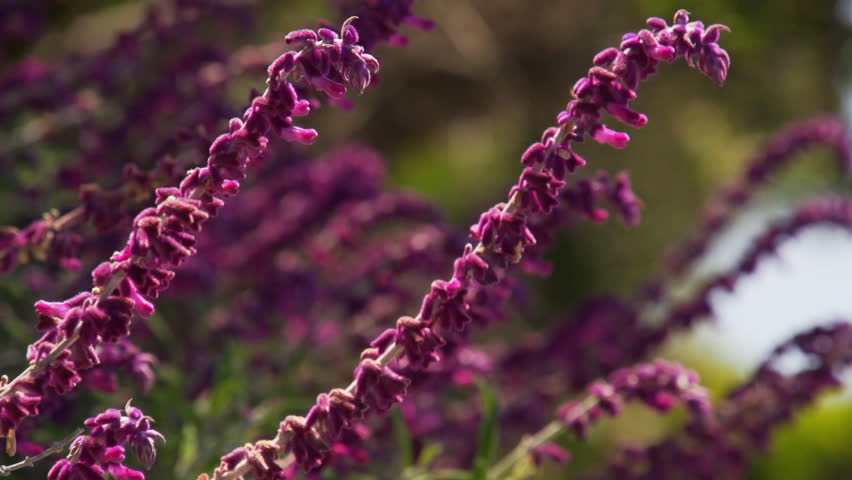 Purple fuzzy flower stock video footage 4k and hd video clips purple fuzzy flower stock video footage 4k and hd video clips shutterstock mightylinksfo