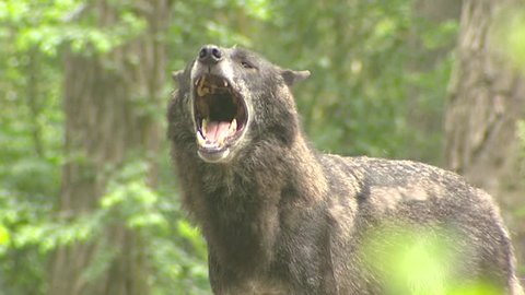 Howling wolf  (Canis lupus) (incl. sound) - close up. Wolves communicate with each other using scents and howling.