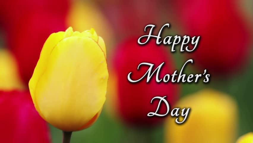 Yellow and red tulips, with one sharply focused yellow tulip, sway in the breeze with Happy Mothers, Day text. Looping