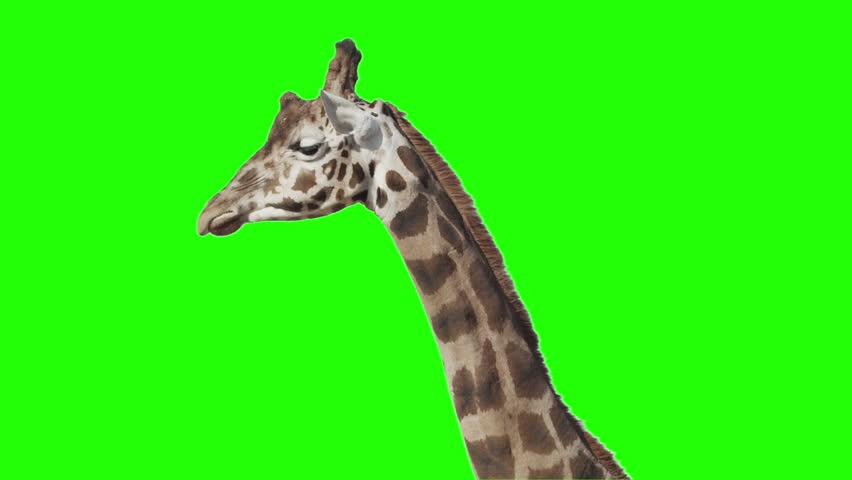 Giraffe in front of green screen. Ready to be keyed.