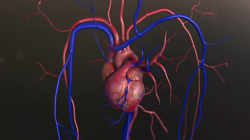 Human Heart Model 3d Footage Page 4 Stock Clips