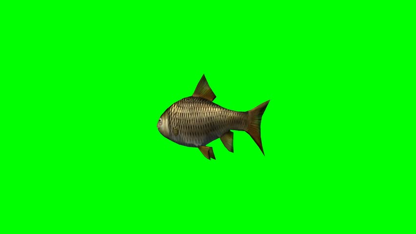 carp fish swimming fast - seperated on green screen #5418038