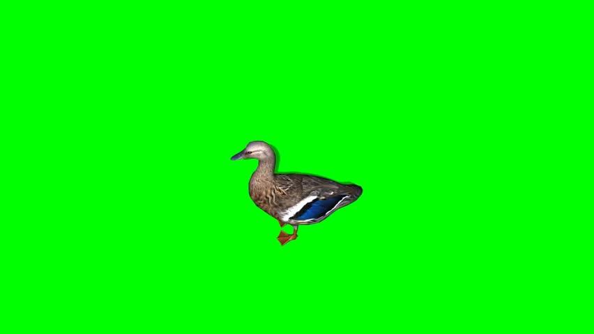Duck Female walk - seperated on green screen | Shutterstock HD Video #5427926