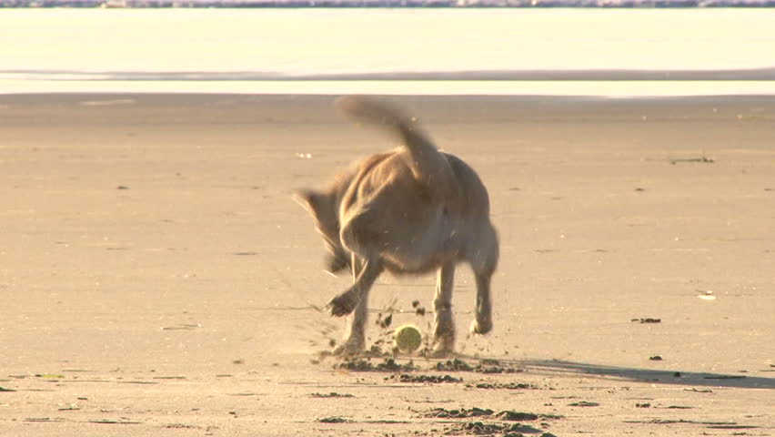 Happy dog at the beach runs and fetches ball. | Shutterstock HD Video #5467028