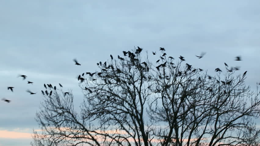 A flock of crows circling in the sky | Shutterstock HD Video #5491808