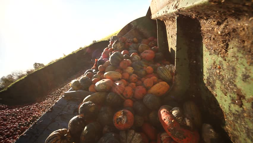 Video footage of a loading food over production of pumpkins with a tractor POV