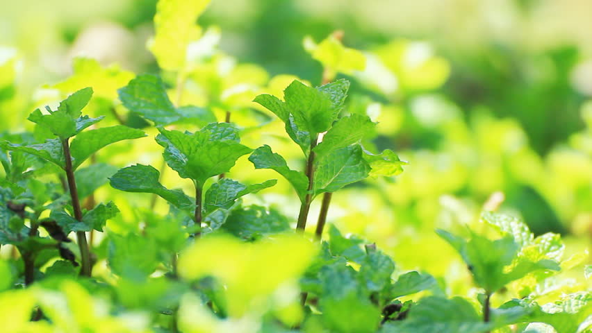 pick fresh kitchen mint leaves from the tree